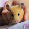 Agar Tidak Cepat Mati, Begini Rahasia Cara Merawat Hamster dengan Baik dan Benar