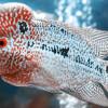 Gak Nyangka, Ini Jenis Jenis Ikan Louhan Terbaik Beserta Harganya yang Mahal!
