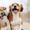 Kenali Penyebab Anjing Hiperaktif, Gejala, dan Cara Mudah Menenangkannya