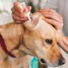 100% Dijamin Bersih, Ikuti 7 Cara Membersihkan Telinga Anjing Berikut