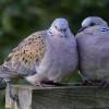 Mau Rajin Bunyi dan Gacor? Ini Makanan Burung Perkutut Berkualitas yang Perlu Diketahui