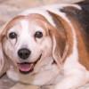 Ini Dia Penyebab Anjing Kegemukan (Obesitas) dan Bahaya yang Mengintainya