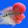 Ini Tips Mudah Merawat Ikan Louhan Agar Warnanya Terang Bagi Pemula
