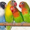 Jangan Ragu Ternak Lovebird, 9 Cara Beternak Lovebird Ini Mudah Dilakukan