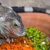 Jangan Keliru! Ini Jenis Makanan Iguana yang Tepat, Agar Cepat Besar