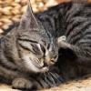 Awas Menular! Ini Jenis Penyakit Kulit pada Kucing dan Cara Ampuh Mengatasinya