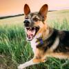 Anjingmu Galak? Yuk, Simak 5 Tips Agar Anjing Tidak Agresif Ini