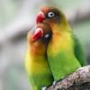 Panduan Cara Menjodohkan Lovebird yang Baru Kenal & Beda Warna, Agar Cocok dan Cepat Bertelur!