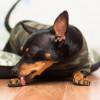 Kenapa Anjing Sering Menjilati Cakarnya? Ini 5 Alasannya
