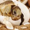 Inilah Rahasia Cara Menetaskan Telur Kura-Kura Tanpa Indukan Paling Efektif