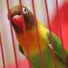 Langganan Jawara! Ini Rahasia Cara Melatih Burung Lovebird Agar Ngekek Panjang