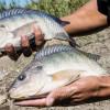 Panduan Budidaya Ikan Nila di Kolam Terpal untuk Pemula, Siap Jadi Jutawan?