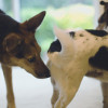 Kenapa Anjing Selalu Mengendus Bokong Anjing Lain? Ini Jawabannya