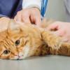 Waspada, Kenali 10 Penyakit Pada Kucing Sebelum Terlambat!