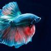 5 Fakta Menarik Tentang Ikan Cupang yang Mungkin Belum Kamu Ketahui