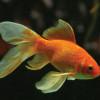 Harus Dihindari! 7 Penyebab Ikan Mas Koki Mati yang Kamu Perlu Tahu
