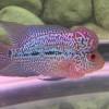 Rahasia Makanan Ikan Louhan Berkualitas Agar Cepat Jenong dan Merah Warnanya