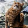 Awas Tertular! Yuk Kenali Penyebab dan Cara Mengobati Scabies pada Kucing