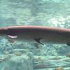 Penting Banget! 5 Cara Merawat Ikan Aligator di Kolam atau Akuarium