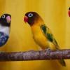 Ketahui 4 Ciri-ciri Lovebird Sakit dan Cara untuk Mengatasinya