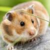 Agar Tidak Digigit, Lakukan 5 Cara Menjinakkan Hamster Baru Beli