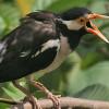Mompa dan Ngegaruda! Begini Cara Merawat Burung Jalak Suren Gacor Agar Sehat