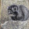 Ini Spesies Kucing Penipu, Terlihat Imut Tapi Sebenarnya Berbahaya!