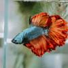 Cara Ternak Ikan Cupang Lengkap, Mudah untuk Budidaya