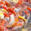 Mau Budidaya atau Hiasan, Ini Dia 13 Cara Merawat Ikan Koi