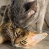 Perhatikan! Kenali Ciri-Ciri Kucing Gagal Kawin Beserta Penyebabnya Berikut Ini