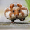 Ini 5 Fakta Menarik dan Unik Tentang Hamster yang Mungkin Belum Diketahui!