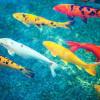 6 Jenis Ikan Koi Paling Banyak Diminati Kolektor