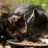 7 Pilihan Makanan Kucing Kampung yang Murah dan Mudah Didapatkan