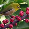 Rahasia Makanan Burung Pleci Agar Cepat Gacor dan Ngeplong, Jaminan Jawara!