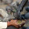 Kuat Adu Balap! Ini Jenis Makanan Burung Merpati Berkualitas Agar Sehat dan Bugar