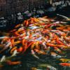 Jangan Mudah Ditipu, Ini Cara Mudah Mengenali Ciri Ciri Ikan Koi Berkualitas Tinggi!