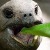 Kenapa Kura-Kura Tidak Mau Makan? Ini Penyebab dan Cara Mengatasinya!