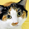 25 Rekomendasi Nama Kucing Betina Belang 3, Dijamin Cocok!