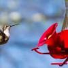 7 Makanan Burung Kolibri Terbaik, Langsung Sehat dan Gacor!