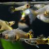 Ini 11 Rekomendasi Makanan Ikan Guppy Biar Cepat Besar, Semua Dimakan!