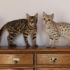 Mengenal Kucing Bengal, Dari Ciri-Ciri, Jenis, Sejarah, & Fakta Uniknya