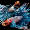 Inilah 9 Ikan Cupang Termahal di Dunia, Seharga Satu Motor!