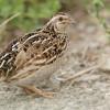 7 Rekomendasi Makanan Burung Puyuh Terbaik Supaya Cepat Bertelur!