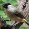 Mau Cepat Gacor? Ini 6 Jenis Makanan Burung Kutilang yang Bagus dan Berkualitas