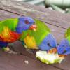 Pilihan Makanan Burung Nuri Berkualitas Agar Sehat dan Cepat Bicara