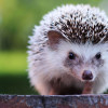 Menggemaskan! Inilah 10 Jenis Landak Mini yang Cocok Dipelihara di Rumah