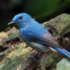 Mau Cepat Gacor? Ikuti Tips Cara Merawat Burung Selendang Biru Berikut Ini