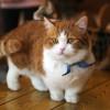 Mengenal Kucing Munchkin, dari Ciri-Ciri, Jenis, Sejarah, & Fakta Uniknya