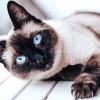 Mengenal Kucing Siam, dari Ciri-Ciri, Jenis, Sejarah, & Fakta Uniknya