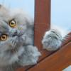 5 Langkah Awal Cara Memandikan Kucing Persia di Rumah